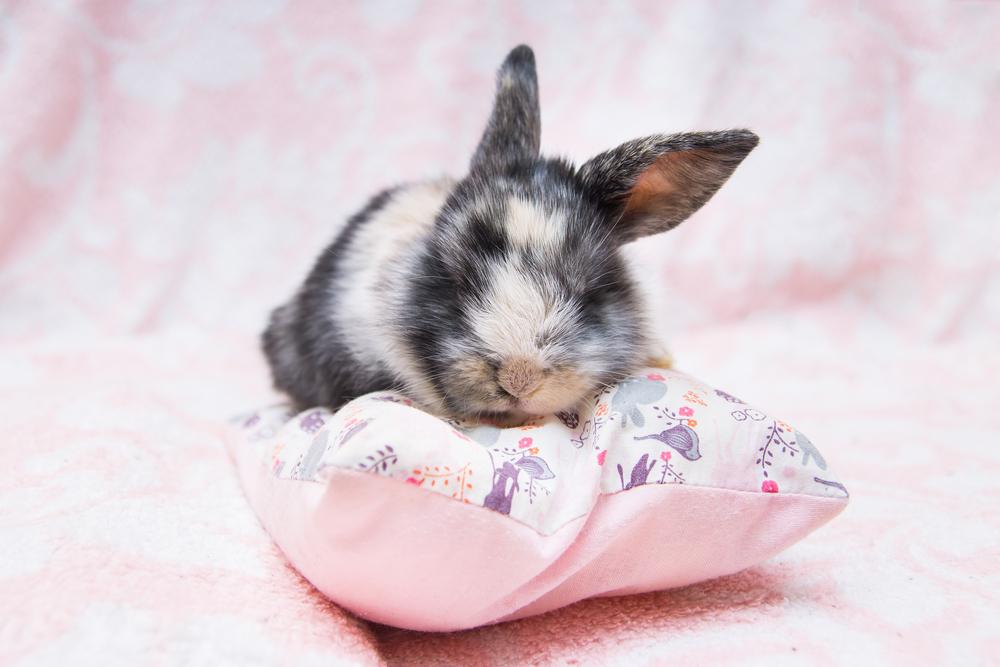 Kanin på kudde